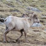 Bighorn Sheep, 6-13