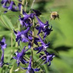 Bee & Larkspur, 7-13