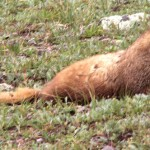 Marmot at Clear Lake, 8-13