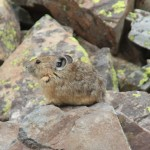 Pika at Clear Lake, 8-13