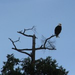 Bald eagle, on whale-watching trip