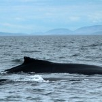 Hampback and calf, whale-watching trip out of Cowichan Bay