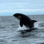 Orca, Whale-watching trip out of Cowichan Bay