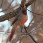 Pyrrhuloxia, Bosque del Apache NWR, New Mexico