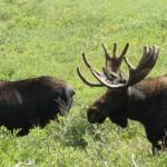 Bull Moose, near SFSP