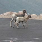 Big Horn Lambs, Mt. Evans