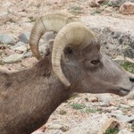 Big Horn Ram, Mt. Evans