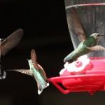Hummingbird tussle, SFSP