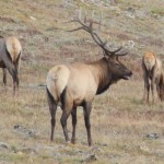 Elk, RMNP