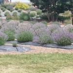 Lots of lavender plants!